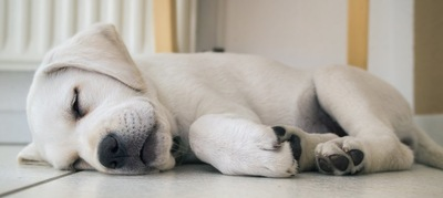 横になって眠っている子犬