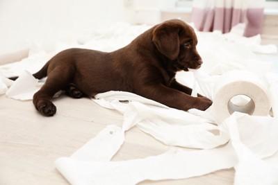 トイレットペーパーにいたずら中の子犬