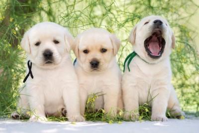 レトリーバーの子犬3頭