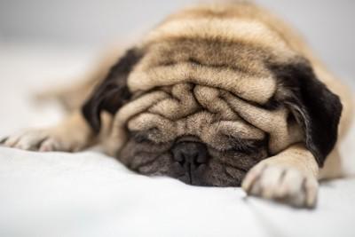 気持ちよさそうに眠るパグ