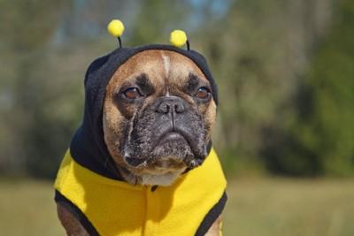 蜂のコスチュームを着させられて不服そうな犬