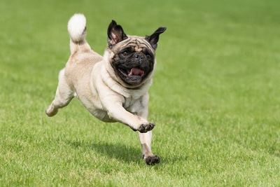 芝生を思い切り走るパグ