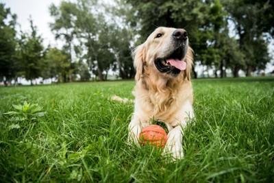芝生とボールとゴールデンレトリバー