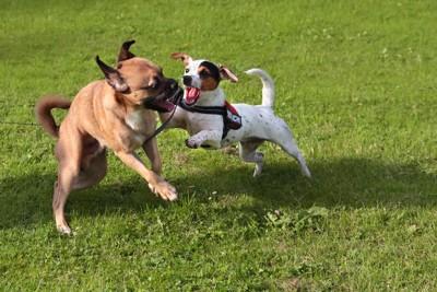 他の犬に攻撃するハーネスを着けた犬