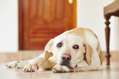 不安そうな表情で床に伏せる犬