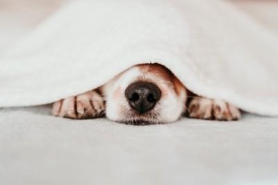 布団の下に潜って鼻を出す犬