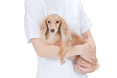 看護師に安全な抱っこをされるM・ダックスフンド