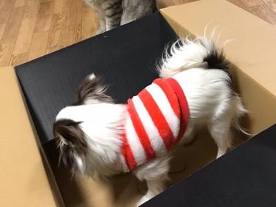 箱に入るチワワ