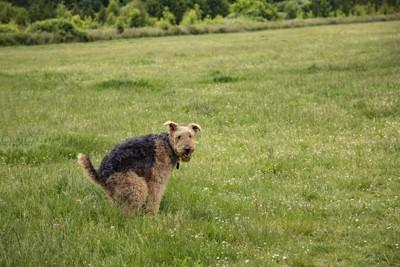 草むらでうんちをする犬
