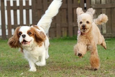 ドッグランで楽しそうに走る2匹の犬