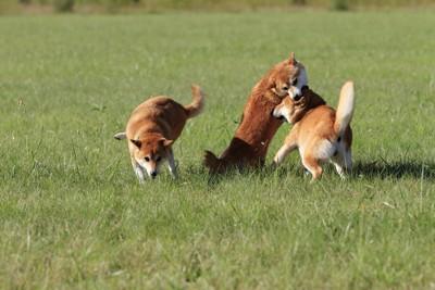 三頭の柴犬、相手の頭を噛む柴犬