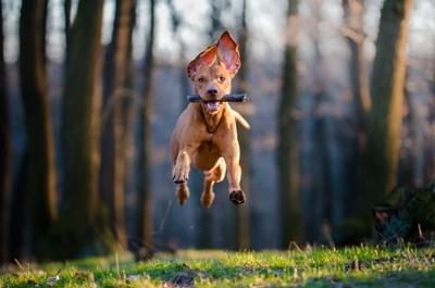 ジャンプする犬