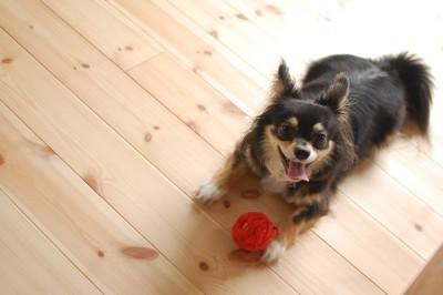 赤いボール持っている犬