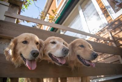 柵から顔を出す三頭のゴールデンレトリバー