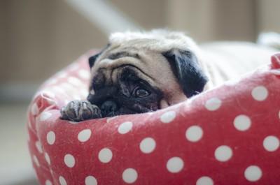 水玉模様のベッドで休むパグ