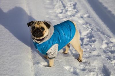 雪の上、青い防寒服を着たパグ