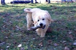 八ヶ岳犬の牧場 ゴールデンレトリバー