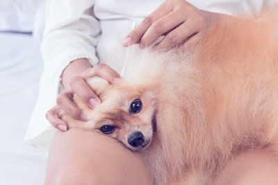 飼い主の膝の上で綿棒で耳のお手入れをされているポメラニアン