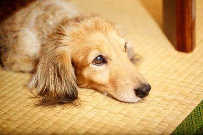 安心した顔で畳の上にある机の下で伏せている犬