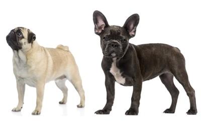 パグとフレンチブルドッグの体型の違い