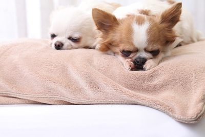 クッションで眠る2匹の犬