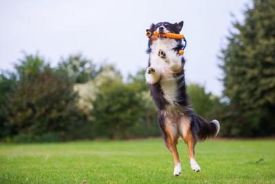 ジャンプしておもちゃをキャッチする犬
