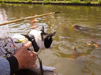 鯉を見る犬