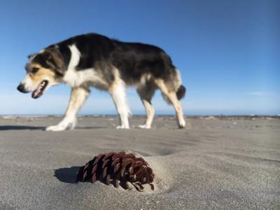 ビーチを歩く犬と松ぼっくり