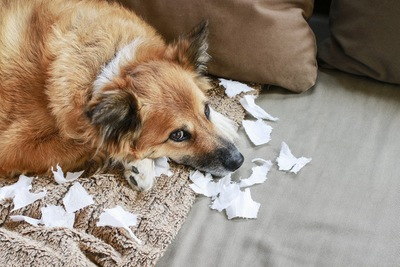 イタズラをした後の犬