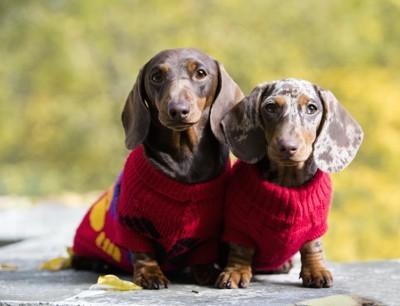 セーターを着た二頭のダックスフンド