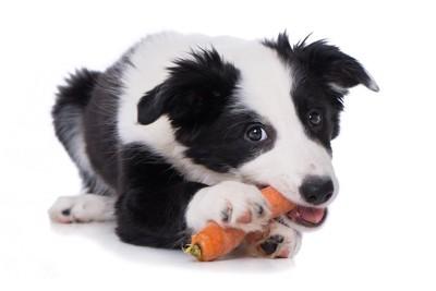 ニンジンを齧る白黒の犬