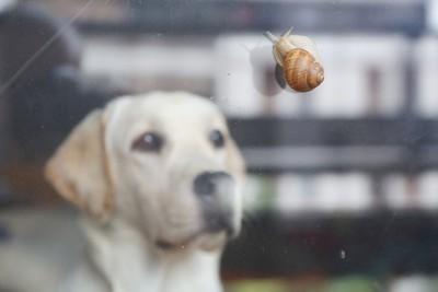 ガラス越しにカタツムリを見つめるラブラドール・レトリーバー