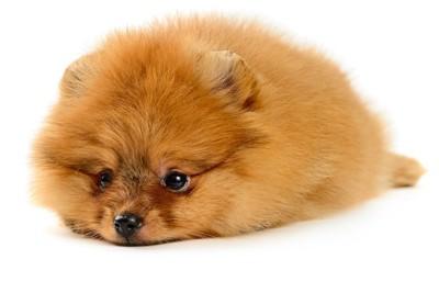 床に伏せているポメラニアンの子犬