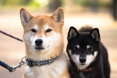 散歩中の二匹の柴犬