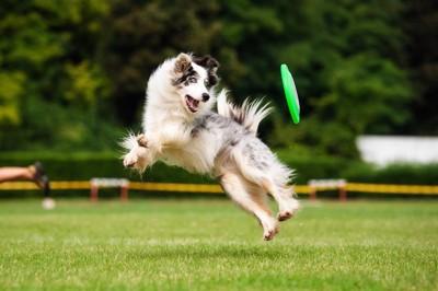 ジャンプしてディスクをキャッチする犬
