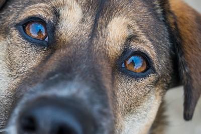 こちらを見つめる茶色い犬の顔アップ