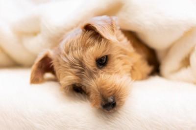 毛布に包まってベッドで横になる犬