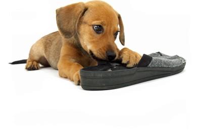 靴を噛んでいる茶色いパピー