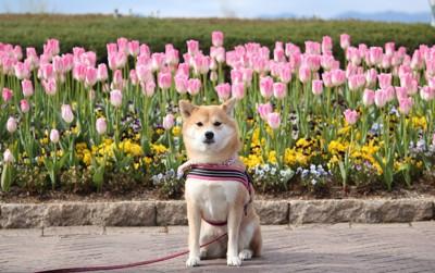 チューリップの前でおすわりをする犬