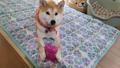 ゴム製のおもちゃを持つ柴犬