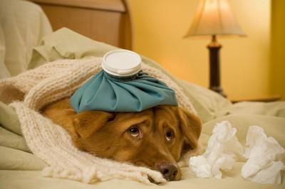 頭に氷嚢を乗せている犬
