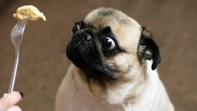 ご飯を見る犬