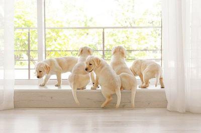 窓際で遊ぶ沢山のラブラドールレトリバーの幼犬