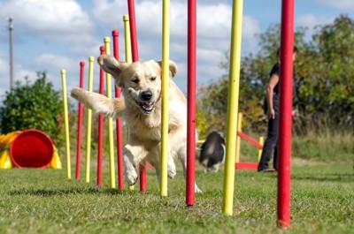 ドッグスポーツをする犬