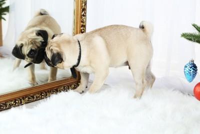 鏡とにらめっこ中のパグ