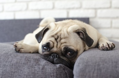 ソファーの上でくつろぐパグ