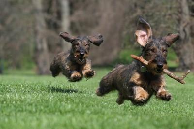 木の棒を持って走る犬
