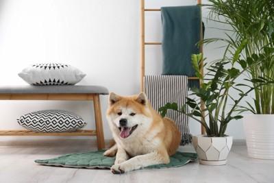 室内でくつろぐ秋田犬