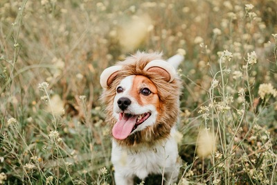 ライオンのかぶりものを被る犬