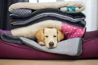畳まれているブランケットの間に入って眠る犬